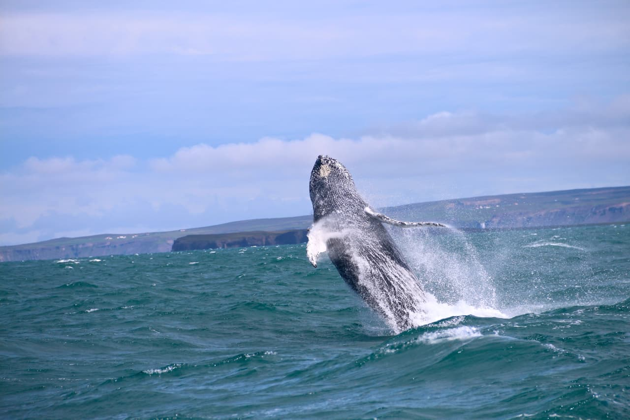 Whales often Breach during whale watching tours