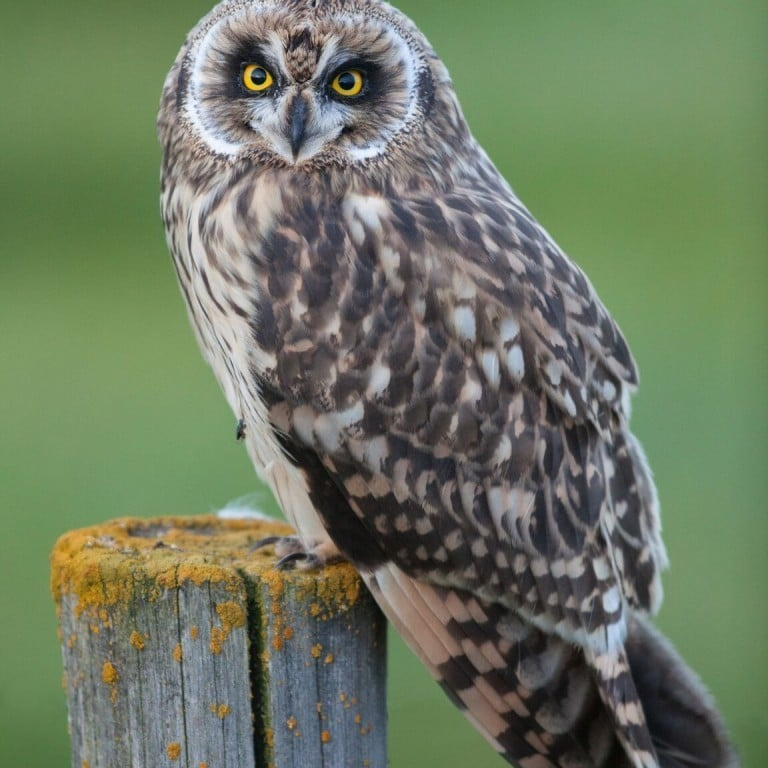 Short Eared Owl by Eyþór Ingi