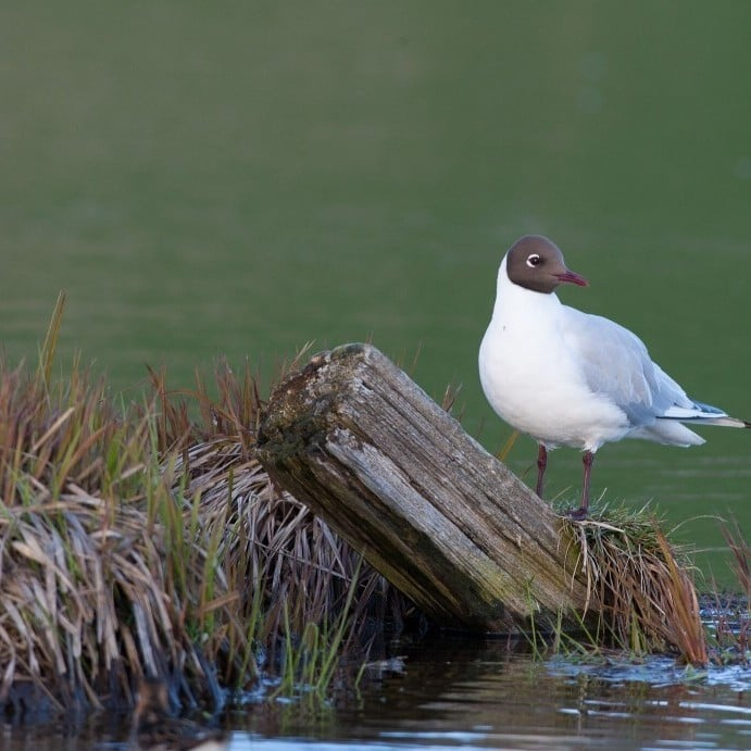 Black Headed Gull by Eyþór Ingi