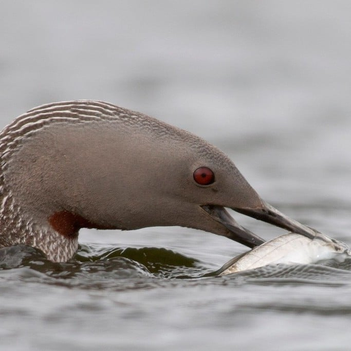 Red Throated Diver by Eyþór Ingi