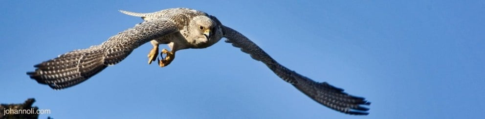 Gyr Falcon by www.johannoli.is