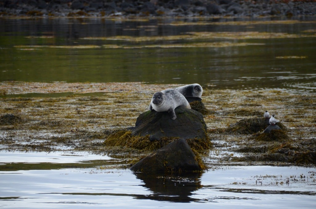 Seal Watching in North Iceland
